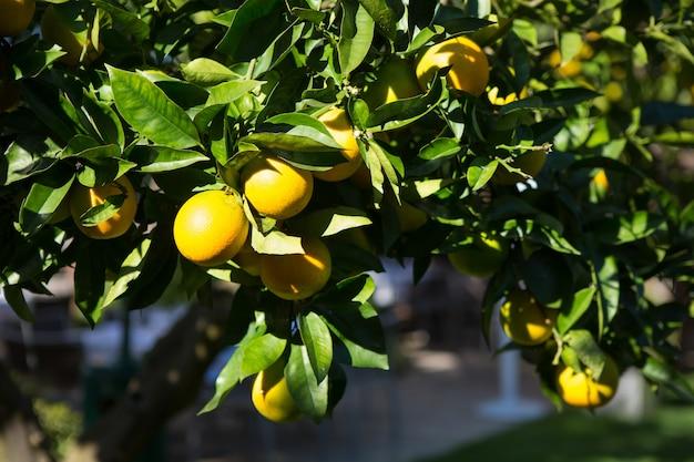 Oranje boom met rijpe vruchten in zonlicht. horizontaal schot