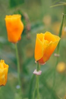 Oranje californische klaprozen bloeien op een lentemiddag.
