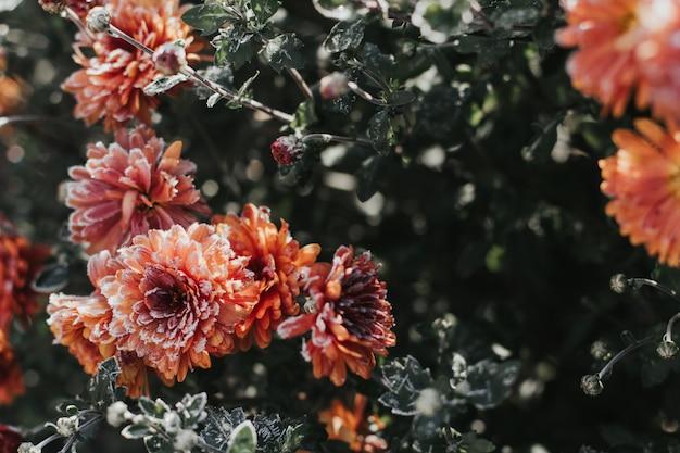 Oranje chrysantenbloemen die met rijp worden behandeld