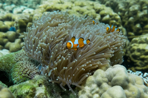 Oranje clown vis