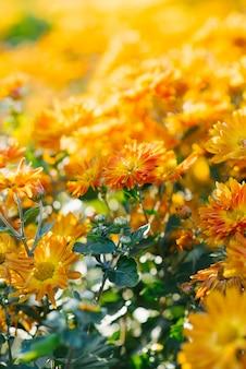 Oranje de herfstchrysanten in de tuinbloei