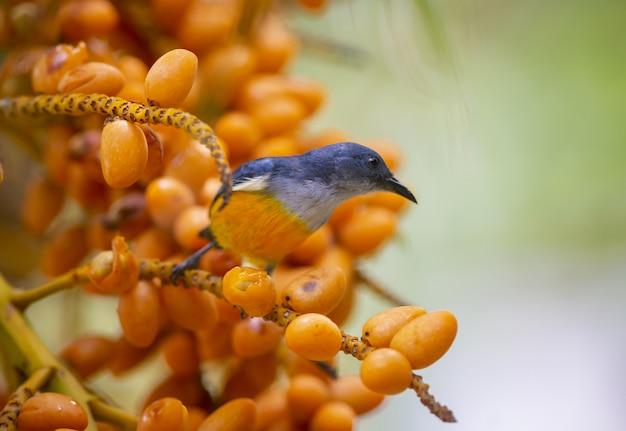 Oranje-doen zwellen flowerpecker op boomtak