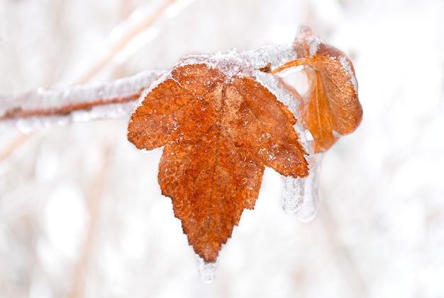 Oranje droog blad groeit op een tak bedekt met ijs