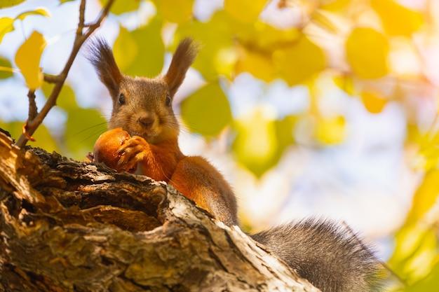 Oranje eekhoorn eten appeltak onderaanzicht portret cute forest squirrel