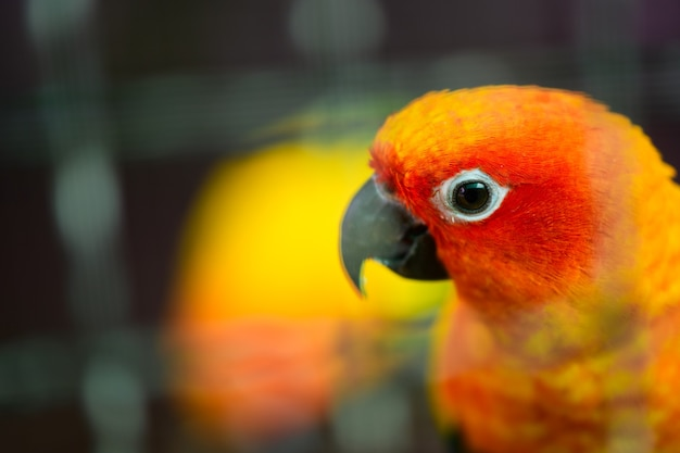 Oranje en rood dwergpapegaai papegaai hoofd op onscherpe achtergrond, dierlijk huisdier concept