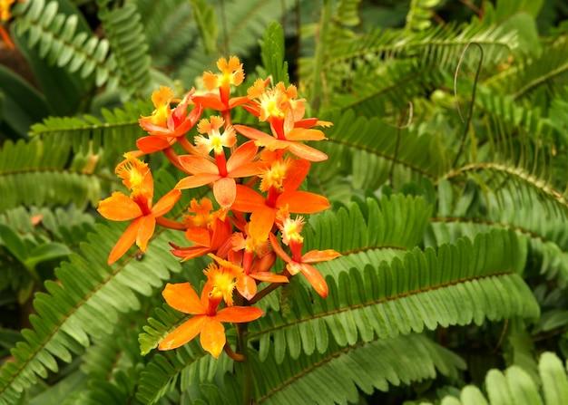 Oranje epidendrum-orchideebloem op de bladerenachtergrond van de zwaardvaren