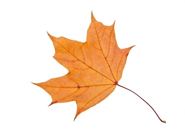 Oranje esdoornblad dat op wit wordt geïsoleerd