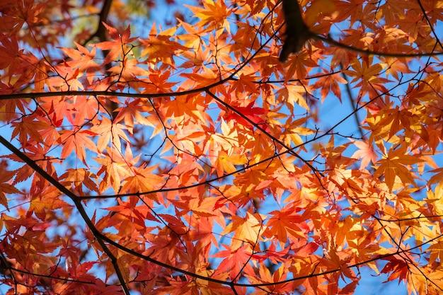 Oranje esdoornbladeren in de herfsttuin met zonlicht