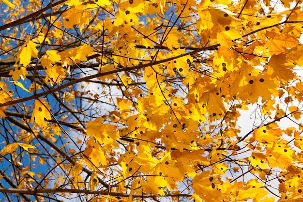 Oranje esdoornbladeren in het herfstseizoen, de natuur in het park, de details van het herfstseizoen