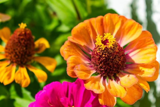 Oranje gemeenschappelijke zinnia in een tuin die door bloemen en struiken onder zonlicht wordt omringd