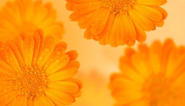 Oranje geneeskrachtig kruid calendula bloemen achtergrond of goudsbloem met waterdruppels op geel