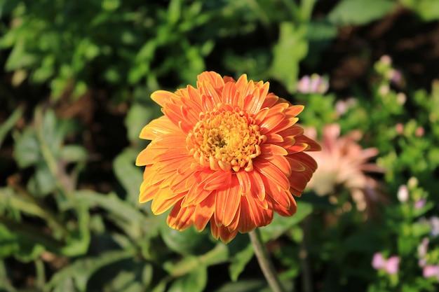 Oranje gerbera in de tuin