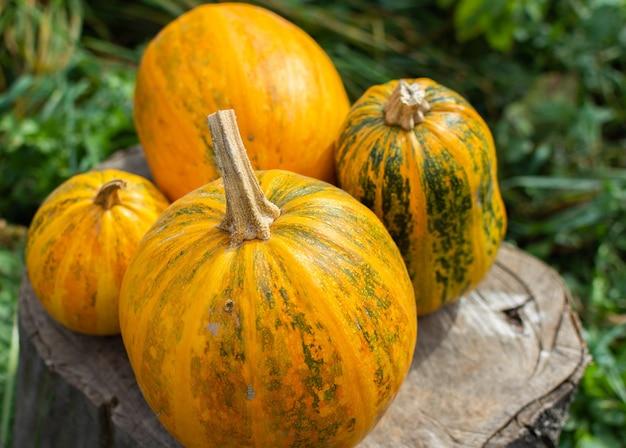Oranje gerijpte pompoenen liggen op een boomstronk, verse biologische groenten uit eigen tuin
