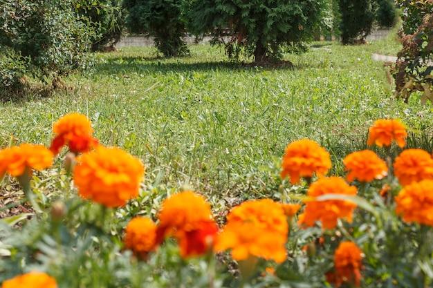 Oranje goudsbloemen bloemen op een achtergrond van grasweiden