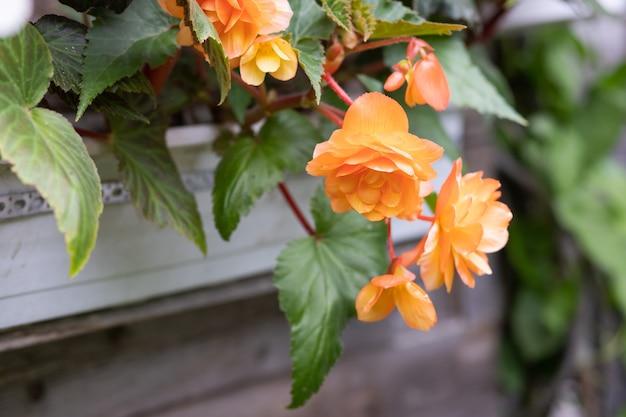 Oranje heldere bloemen van knolbegonia's