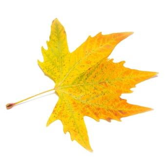 Oranje herfst esdoornblad geïsoleerd op wit.