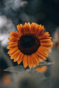 Oranje herfst zonnebloem met zaden en heldere bloemblaadjes op onscherpe achtergrond. schoonheid van de natuur