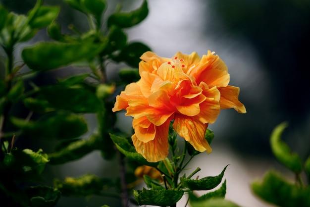 Oranje hibiscus of chinese roos bloem op natuurlijke groene bladeren achtergrond
