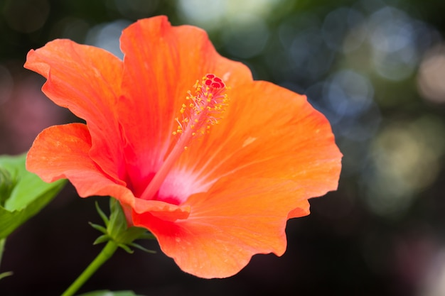 Oranje hibiscusbloem