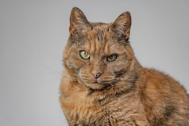 Oranje knorrige kat op grijs