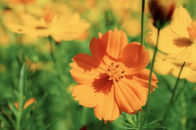 Oranje kosmos in tuin bij zonlicht.