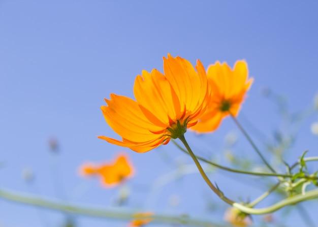 Oranje kosmosbloem en blauwe hemel