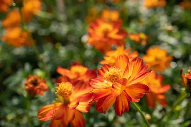 Oranje kosmosbloemen in de tuin met onduidelijk beeldachtergrond