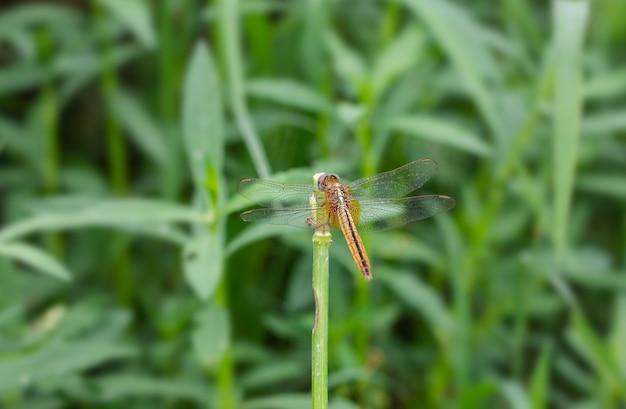Oranje libel met transparante vleugels zittend op een grasstam in de jungle