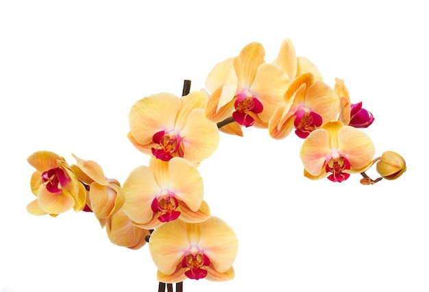 Oranje orchidee bloemen tak geïsoleerd op een witte achtergrond