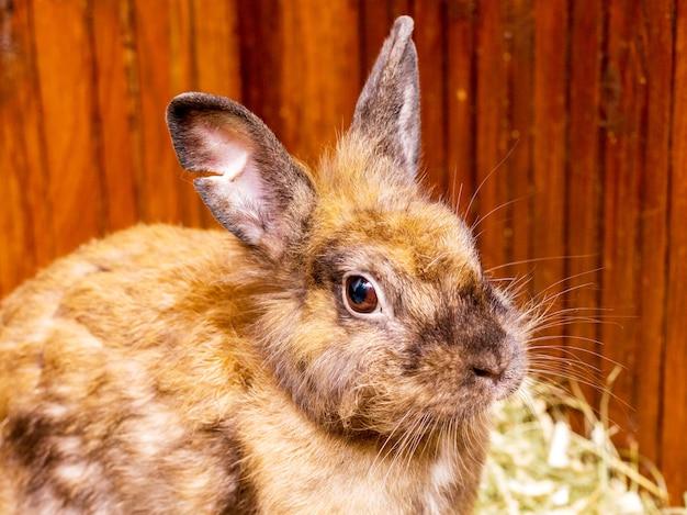 Oranje pluizig konijn, close-upportret. fokken van konijnen