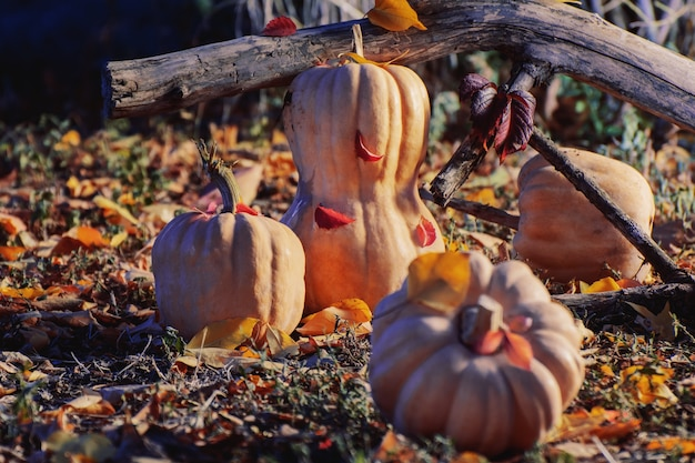 Oranje pompoen. warme herfst. halloween.
