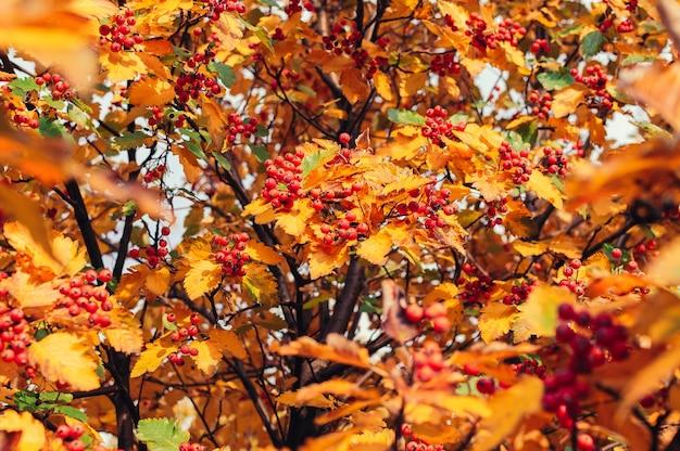 Oranje rijp boeket van lijsterbes met gele bladeren van lijsterbes