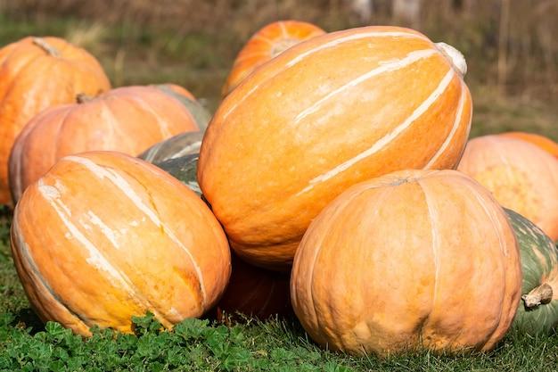 Oranje ronde pompoenen. hoop pompoenen op de boerenmarkt. pompoenen achtergrond.