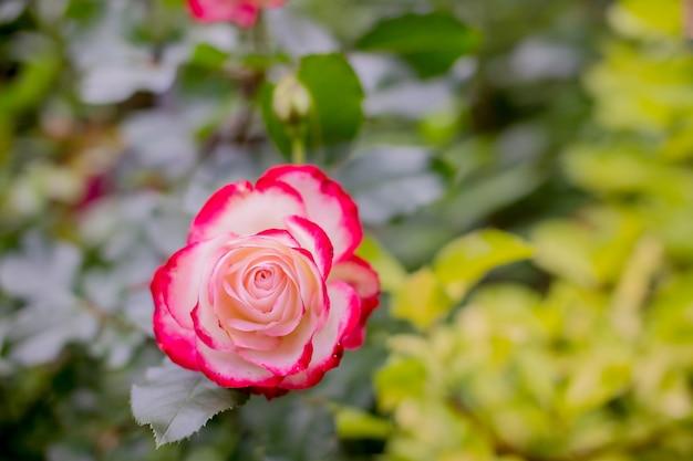 Oranje roos en zonlicht. roos in de herfst tuin op zonnige dag. mooie bloem close-up