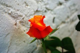 Oranje roos, mooie