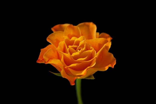 Oranje roos op een zwarte achtergrond