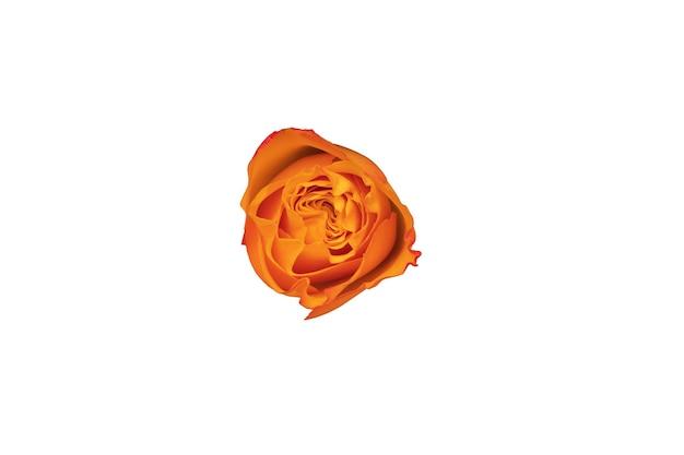 Oranje roze knop geïsoleerd op een witte achtergrond. mooie bloem voor design. uitzicht van boven. hoge kwaliteit foto