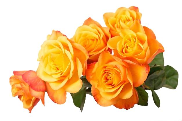 Oranje rozen geïsoleerd op een witte ondergrond