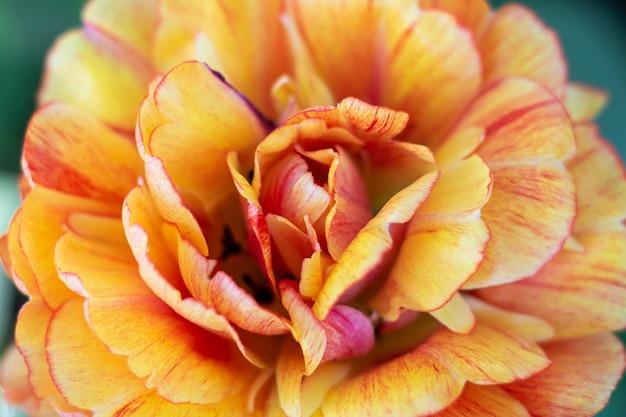 Oranje tulpen verse bloemen close-up bokeh