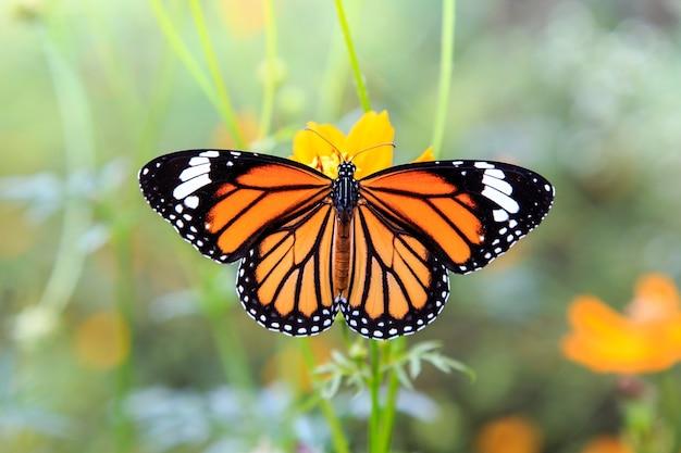 Oranje vlinder op oranje kosmosbloemen