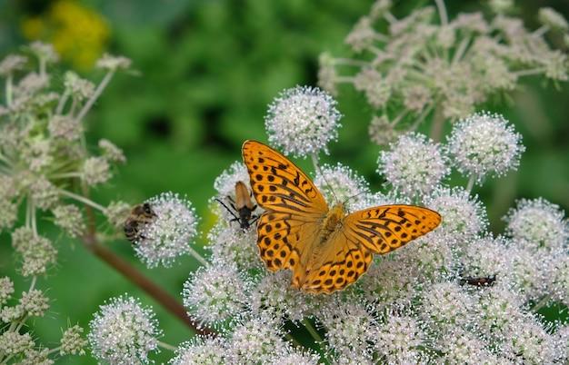 Oranje vlinder op witte bloem met groene planten in asutria