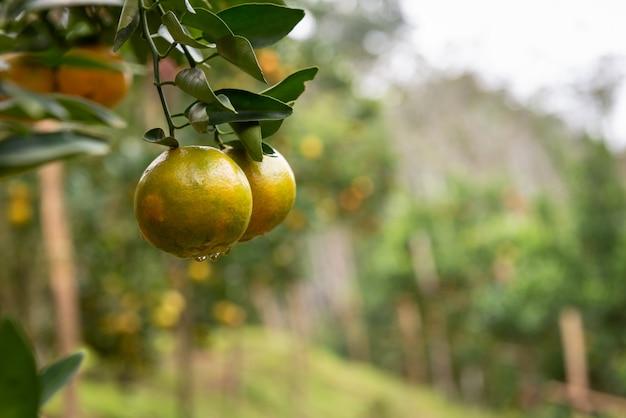 Oranje vruchten in landbouwtuin met onduidelijk beeld van backgroud