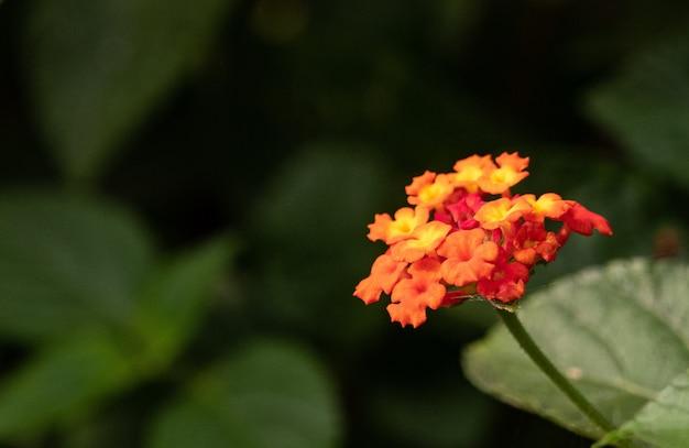 Oranje west-indische lantana omgeven door groen met een wazige achtergrond