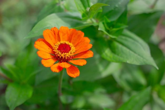 Oranje zinnia of grote bloem op groene achtergrond met kopieerruimte. het kweken en kweken van tuinplanten, landschapsontwerp van de site.