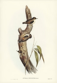 Oranjevleugelige sittella (sittella-chrysoptera) geïllustreerd door elizabeth gould