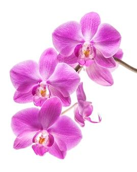 Orchidee die op wit wordt geïsoleerd