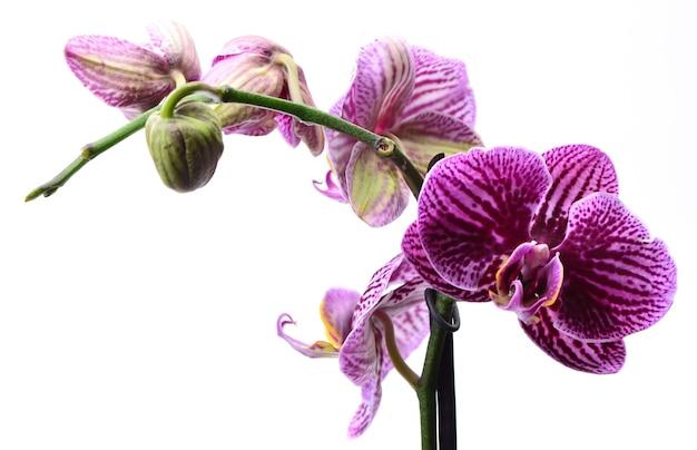 Orchidee geïsoleerd op een witte achtergrond