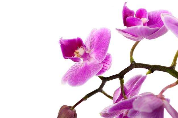 Orchidee op wit wordt geïsoleerd dat