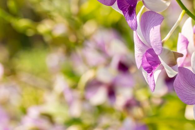 Orchideeachtergrond, paarse dendrobium bloeiend onder fel zonlicht, in zachte wazige stijl, selectief focuspunt.