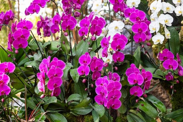 Orchideebloem in orchideetuin bij de winter of de lentedag, chiang rai, thailand